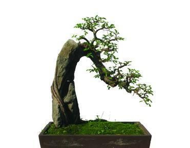 梅花树根的盆景制作